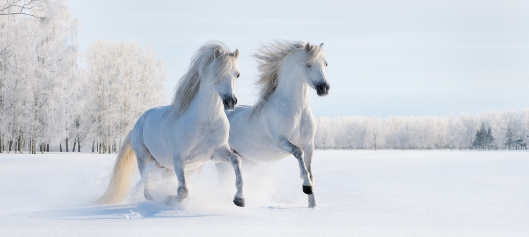 Two galloping white Welsh ponies on snow field